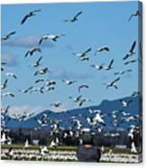 Snow Geese Rising Canvas Print