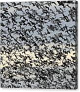 Snow Geese Spring Migration Canvas Print