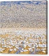 Snow Geese Take Off 1 Canvas Print