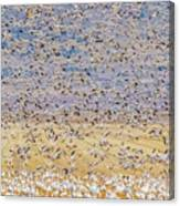 Snow Geese Take Off 3 Canvas Print