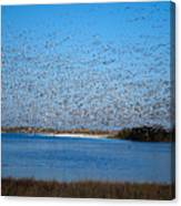 Snow Geese Takeoff Iv Canvas Print