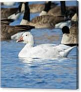 Snow Goose Canvas Print