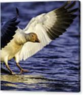 Snow Goose2 Canvas Print