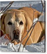 Snow Lab Canvas Print
