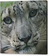 Snow Leopard 10 Canvas Print