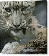 Snow Leopard 11 Canvas Print