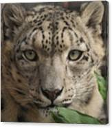 Snow Leopard 13 Canvas Print