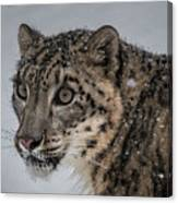 Snow Leopard 2 Canvas Print