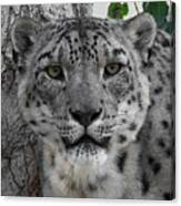 Snow Leopard 5 Posterized Canvas Print