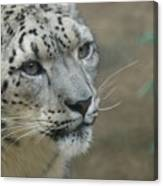 Snow Leopard 8 Canvas Print