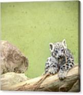Snow Leopard Cub Canvas Print