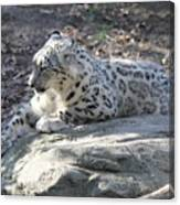 Snow-leopard Canvas Print