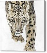 Snow Leopard On The Prowl X Canvas Print