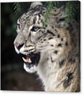 Snow Leopard Portrait Canvas Print