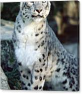 Snow Leopard Uncia Uncia Portrait Canvas Print