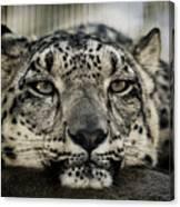 Snow Leopard Upclose Canvas Print