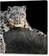 Snow Leopard Xxii Canvas Print