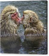 Snow Monkey Kisses Canvas Print