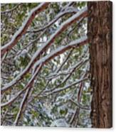 Snow On The Branches Canvas Print
