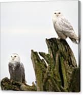 Snow Owls Of Boundary Bay Canvas Print