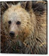 Snow The Grizzly Canvas Print