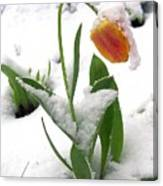 Snow Tulip Canvas Print