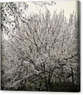 Snow White Flowering Tree Canvas Print