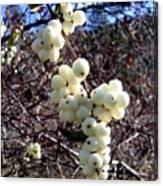 Snowberries Canvas Print