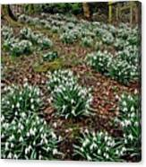 Snowdrops In Spring Woodland Canvas Print