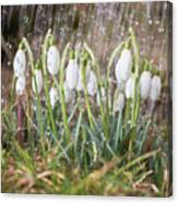 Snowdrops In The Garden Of Spring Rain 1 Canvas Print