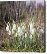 Snowdrops In The Garden Of Spring Rain 3 Canvas Print