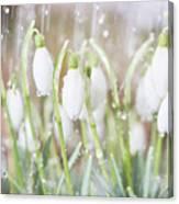 Snowdrops In The Garden Of Spring Rain 4 Canvas Print