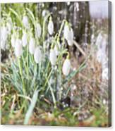 Snowdrops In The Garden Of Spring Rain 7 Canvas Print