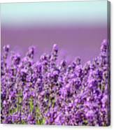 Snowshill Lavender Canvas Print