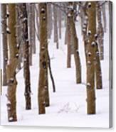 Snowy Aspen Canvas Print