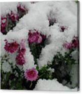 Snowy Chrysanthemums Canvas Print