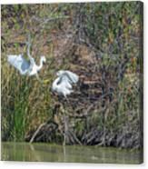 Snowy Egret Confrontation 8664-022018-1 Canvas Print