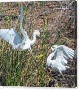 Snowy Egret Confrontation 8664-022018-1cr Canvas Print