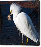 Snowy Egret Eating Fish Canvas Print