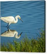 Snowy Egret Feeding  Canvas Print
