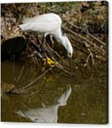 Snowy Egret Fishing From Branches Canvas Print