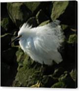 Snowy Egret Fluffy Canvas Print