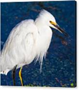 Snowy Egret In Afternnon Light Canvas Print