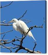 Snowy Egret In Nesting Area Canvas Print