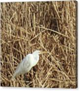 Snowy Egret In Tall Grasses Canvas Print