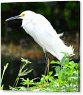Snowy Egret In The Everglades Canvas Print