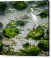 Snowy Egret On Mossy Rocks Canvas Print