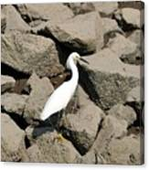 Snowy Egret On The Rocks Canvas Print