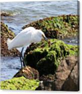 Snowy Egret  Series 2  1 Of 3  The Catch Canvas Print
