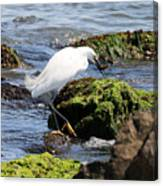 Snowy Egret  Series 2  2 Of 3  Preparing Canvas Print